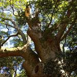 参道脇にある巨大な古木