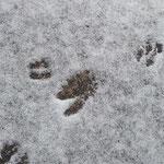 シカの足跡。今朝歩いたのかも!