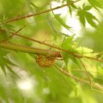 モミジの枝に抜け殻見つけ!