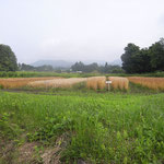 「くまの木」では大麦1種類、小麦3種類栽培しました。