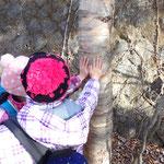 ダケカンバの樹皮はとてもなめらかスベスベ!