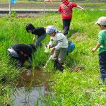 田んぼの横の水路で生きもの探し。草の陰には、いろんな生きものが隠れています。