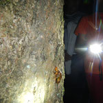 アブラゼミの幼虫が木を登って行くのを発見!