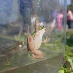 捕まえた生きものは水槽に入れて観察。ニホンアマガエル。
