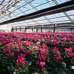 多彩な花色のシクラメン