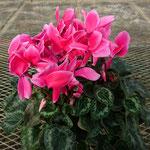 リップスピンク(濃いピンクに薄ピンクの縁取り)