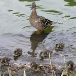Entenfamilie beim Baden - © Blockhaus-Kuusamo