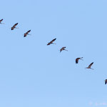 Grus grus - Common Crane - Kranich, Cyprus, Akhna Dam, 19.10.2012
