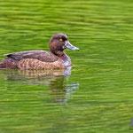 Reiherente female, Tufted Duck, Aythya fuligula, Germany, Schambach - Schamhaupten - Altmannstein, Juni 2017