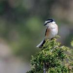 Maskenwürger, Masked Shrike, Lanius nubicus, Cyprus, Troodos, Mount Olympos, 17. April 2018