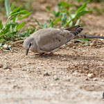 Oena capensis - Namaqua Dove (female) - Kaptäubchen, Cyprus, Mandria, Greenhouse Area, March 2016