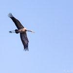 Grus grus - Common Crane - Kranich, Cyprus, Akhna Dam, 12.10.2012