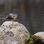 Gebirgsstelze juv., Grey Wagtail juv., Motacilla cinerea, Germany, Schambach - Schamhaupten - Altmannstein, Juni 2017