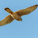 Falco tinnunculus - Common Kestrel - Turmfalke, Cyprus