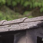 Gebirgsstelze, Grey Wagtail, male + female, Motacilla cinerea, Germany, Schambach - Schamhaupten - Altmannstein, Juni 2017