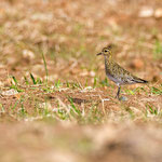 Pluvialis appricaria - European Golden Plover - Goldregenpfeifer, Cyprus, Mandria Fields, February 2016
