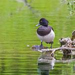 Reiherente male, Tufted Duck, Aythya fuligula, Germany, Schambach - Schamhaupten - Altmannstein, Juni 2017