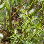 Amsel breedind, Common Blackbird, Thurdus merula, Germany, Schambach - Schambach - Schamhaupten - Altmannstein, Juni 2017