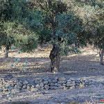 Olivenbaum mit Bruthöhle - Olive Tree with Breeding cavern - Cyprus, Polis Area, Juni 2018