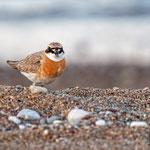 Charatrius leschenaultii - Wüstenregenpfeifer - Greater Sand Plover, Cyprus, Mandria Beach, April 2016