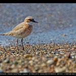 Charatrius leschenaultii - Wüstenregenpfeifer - Greater Sand Plover, Cyprus, Mandria Beach, 2014
