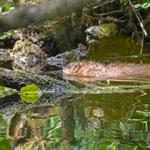 Biber - Castoridae - Beaver, , Germany, Schambach - Schamhaupten - Altmannstein, Juni 2017