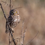 Steinkauz, Little Owl, Athene noctua, Cyprus, Paphos - Anarita Area, April 2018