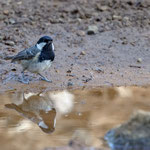 Tannenmeise, Coal Tit cypriotes, Periparus cypriotes, Cyprus, Troodos, Mount Olympos, 17. April 2018
