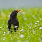 Amsel, Common Blackbird, Thurdus merula, Germany, Schambach - Schamhaupten - Altmannstein, Juni 2017