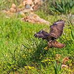 Buteo buteo vulpinus - Steppe Buzzard - Falkenbussard, Cyprus, Mandria Beach, Feb. 2013