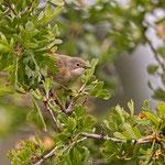 Sylvia cantillans - Subalpine Warbler - Weßbart-Grasmücke, Cyprus, Anarita Park, April 2015