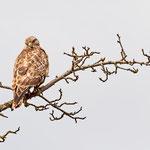 Buteo buteo - Common Buzzard - Maeusebussard