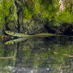Ringelnatter - Natrix natrix - Grass Snake, Germany, Schambach - Schamhaupten - Altmannstein, Juni 2017