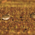 Pluvialis appricaria - European Golden Plover - Goldregenpfeifer, Cyprus, Mandria Fields, January 2015