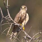 Falco tinnunculus - Common Kestrel - Turmfalke, Cyprus, Akrotiri, Saltlake, 28.09.2011