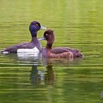 Reiherente male + female, Tufted Duck, Aythya fuligula, Germany, Schambach - Schamhaupten - Altmannstein, Juni 2017