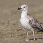 Larus fuscus - Lesser Black-backed Gull - Baltische Heringsmöwe, Cyprus, Larnaca - Kiti Beach, August 2013