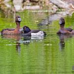 Reiherente, Tufted Duck, Aythya fuligula, Germany, Schambach - Schamhaupten - Altmannstein, Juni 2017