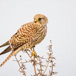Falco naummanni - Lesser Kestrel - Rötelfalke, Cyprus, Anarita Park, April 2015