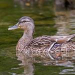 Stockente mit Kücken, Mallard with duckling, Anas platyrhynchos, Germany, Schambach - Schamhaupten - Altmannstein, Juni 2017