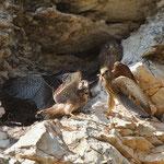 Kestrel, Cyprus, Nata, 05.06.11, Canon 1D MK IV, EF 500 f4 L IS USM + TC1,4 II