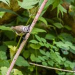 Haubenmeise - Lophophanes cristatus - Created Tit, Germany, Schambach - Schamhaupten - Altmannstein, Juni 2017