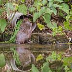 Biber - Castoridae - Beaver, Germany, Schambach - Schamhaupten - Altmannstein, Juni 2017
