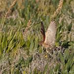Falco tinnunculus - Common Kestrel - Turmfalke, Cyprus, Mandria, 09.01.2012