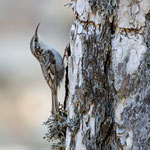 Waldbaumlaeufer, Tree creeper, Certhia familiaris, Cyprus, Troodos, Mount Olympos, 17. April 2018