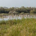 Rosaflamingo, Greater Flamingo, Phoenicopterus ruber, Cyprus, Larnacs - Oroklini Lake, Februar 2018