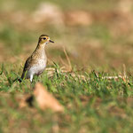 Pluvialis appricaria - European Golden Plover - Goldregenpfeifer, Cyprus, Mandria Fields, January 2016