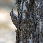 Waldbaumlaeufer, Tree creeper, Certhia familiaris, Cyprus, Troodos, Mount Olympos, 17. April 2018