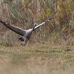 Grus grus - Common Crane - Kranich, Cyprus, Fassouri, Nov. 2013