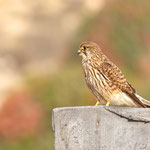 Falco tinnunculus - Common Kestrel - Turmfalke, Cyprus, Agios Georgios Port, 17.11.2011